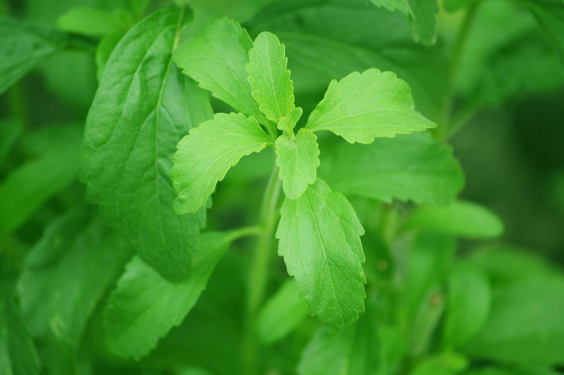 Stevia ist ein Naturprodukz