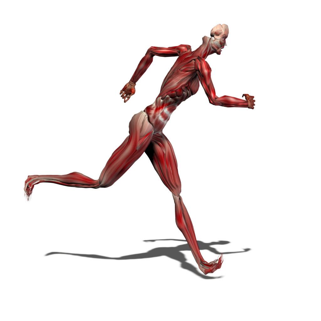 Die schnellen Muskelfasern werden weniger und das macht langsamer
